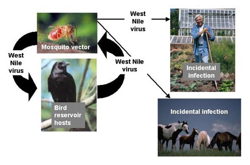 Mosquito, birds, horses, and a person